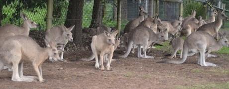 kangaroos-243